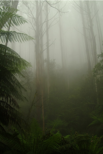 Green mist on the Black Spur, near Marysville, Victoria, Australia