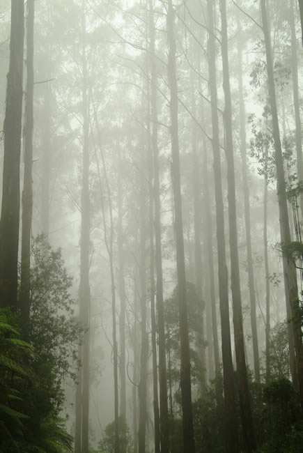 Tall timbers on the Black Spur, Victoria, Australia
