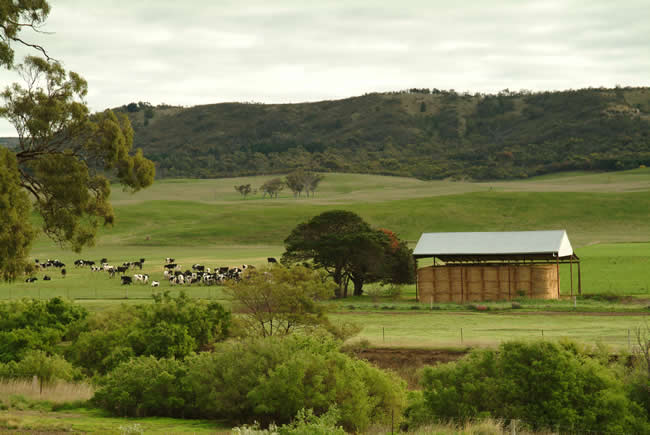 Grazing cattle, Rowsley valley, near Bacchus Marsh, Victoria, Australia