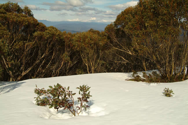 Powder snow on Mt Skene, alpine Victoria, Australia