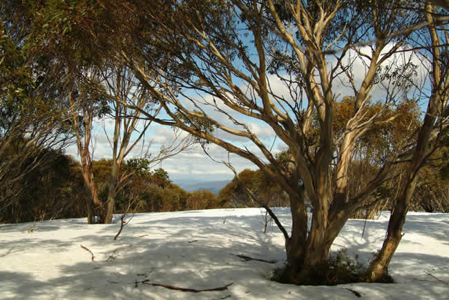Snow gums on Mt Skene, alpine Victoria, Australia