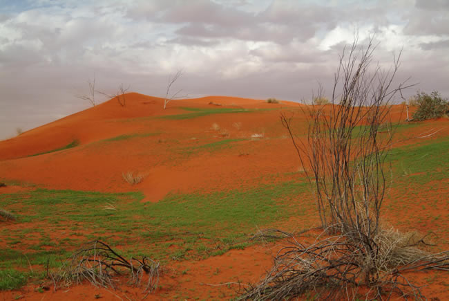 Pending Wildflowers, North Simpson Desert, Northern Territory, Australia
