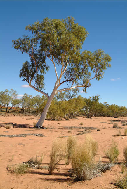 Ghost gums in the Hay River bed, Simpson Desert, Northern Territory, Australia