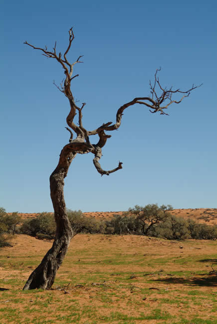 Gidgee Tree, Simpson Desert, Queensland, Australia