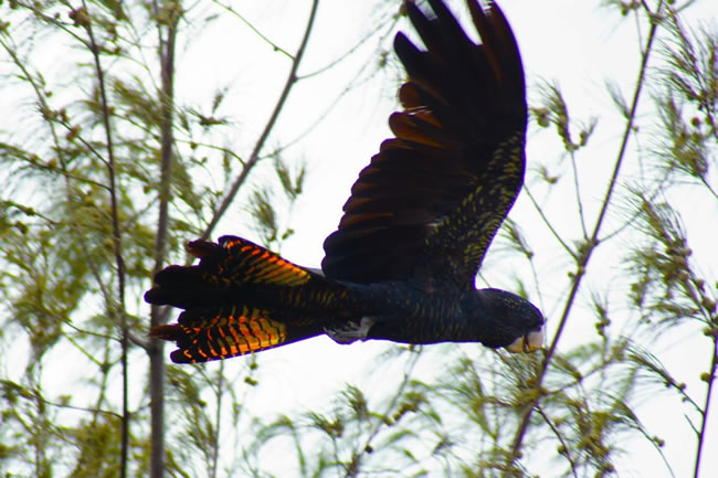 Red tailed black cockatoo in flight, Gladstone, Queensland, Australia