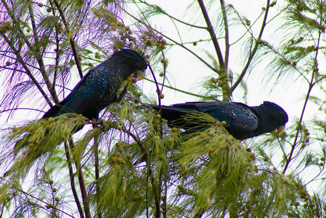 Red tailed black cockatoo eating in a tree in a park, Gladstone, Queensland, Australia
