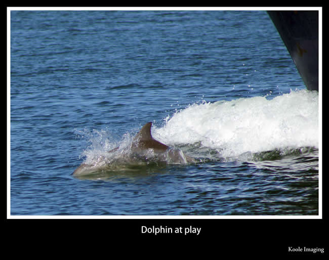 The friendly dolphin loves to play. Off South Australia