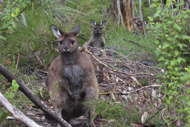 Hello! Who are you? Inquisitive wallabies, near Naracoorte, South Australia