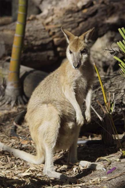 Swamp Wallaby, South Stradbroke Island, Queensland, Australia