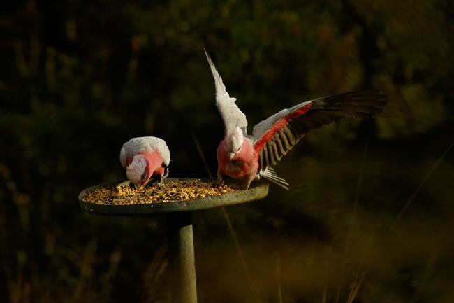 Pink and grey galah, found all over Australia, except Tasmania