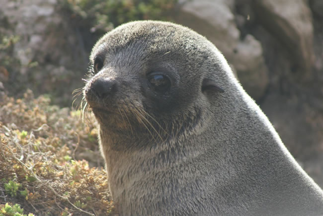 A pensive looking seal, near Naracoorte, South Australia