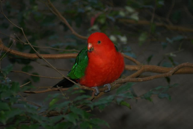 King parrot, pictured at Taronga Zoo, Sydney, NSW, Australia