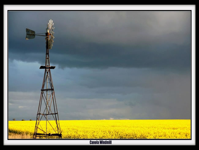 Windmill in a field of golden canola, near Carisbrook, Victoria, Australia