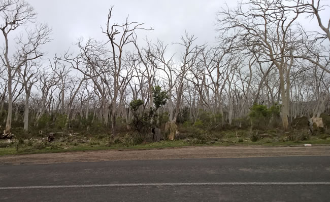 Trees eaten bare by koalas, near Cape Otway, Victoria, Australia