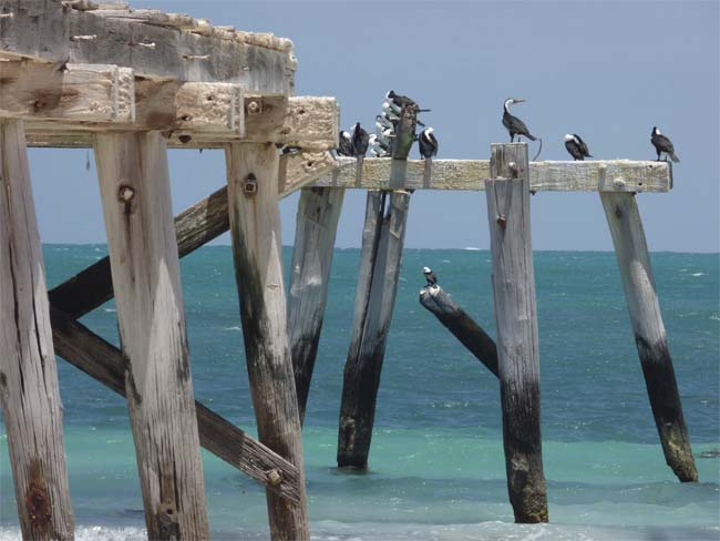 Birds preening on the abandoned jetty at Eucla, Western Australia